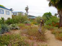 channel islands natives landscaping, san diego natives landscaping, san diego drought tolerant landscaping