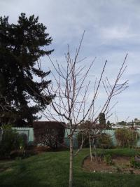 San Diego fruit tree pruning
