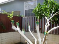san diego fruit tree grafting