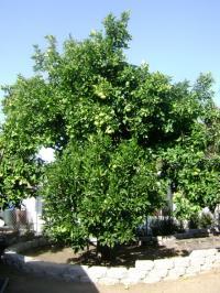 san diego fruit growing, san diego fruit tree grafting