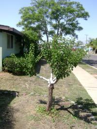 SAN DIEGO FRUIT GROWING, SAN DIEGO FRUIT TREE GRAFTING, APRICOT