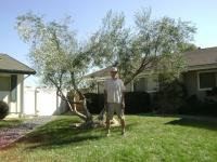 Olive tree after pruning La Mesa