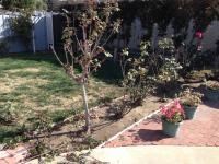 San Diego Rose Pruning