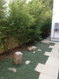 San Diego Landscape design, bambusa textiles gracilis