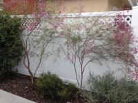 San Diego bush pruning Chamaelaucium Geraldton Wax Flower