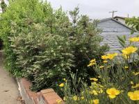 Summer Holly, Bush Poppy, Island Cherry, San Diego