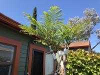 Jacaranda graft / grafting Bonsai Blue dwarf variety