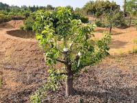 Asian Pear Grafting San Diego