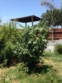 San Diego fruit tree pruning, plum