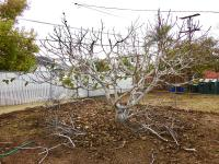 Fig tree pruning san diego, fruit tree pruning san diego