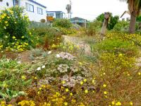 San Diego native landscaping, southern california native landscaping, channel islands native landscaping, habitat style