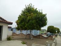 San Diego nut tree pruning, Macadamia