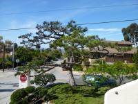 Japanese black pine pruning, san diego