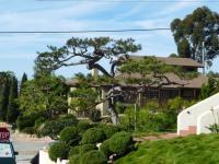 san diego japanese black pine pruning