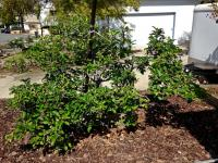 Appe fruit tree pruning la mesa san diego