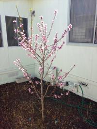 Fruit tree pruning el cajon san diego santee